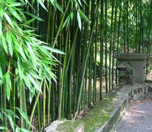 Bambou botanique