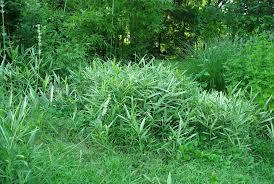 Bambou et environnement