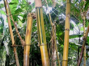 Bambou et diététique