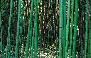 Phyllostachys bambusoïde